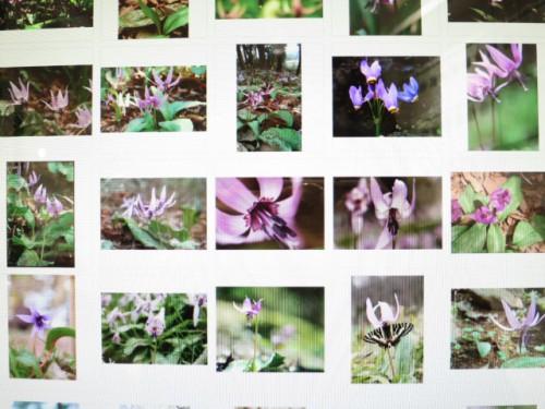 カタクリ咲いたまつり|IMG_1902