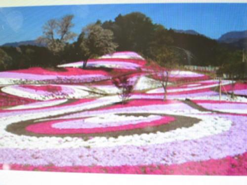 みさと芝桜まつり|IMG_2209