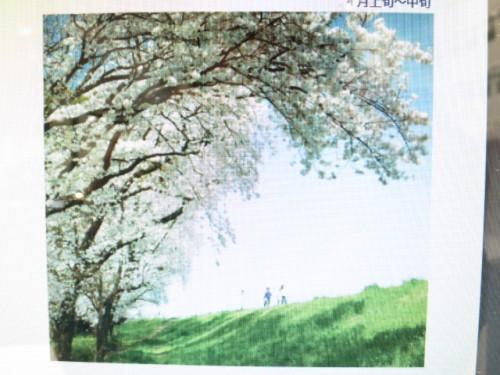 高崎の桜|IMG_2624