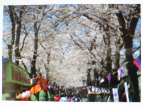 赤城南面千本桜まつり|IMG_2909
