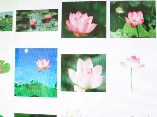 蓮の花|IMG_7983
